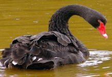 Peristiwa-Peristiwa Black Swan dan Peluang di Pasar Forex